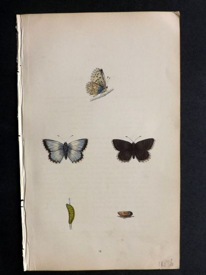 Morris 1853 Hand Col Butterfly Print. Chalk Hill Blue 63